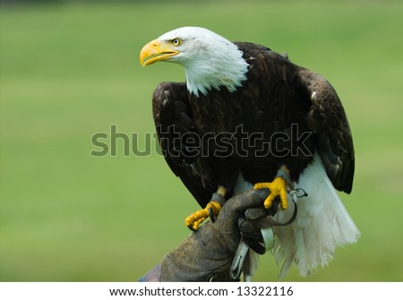 american bald eagle on the glove of a falconer