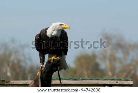 American bald eagle on the hand of a falconer - stock photo