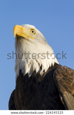 american bald eagle perched in tree with early morning light ez canvas