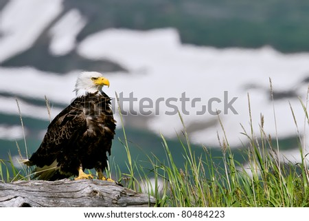 american bald eagle perched on log in alaska's lake clark national park