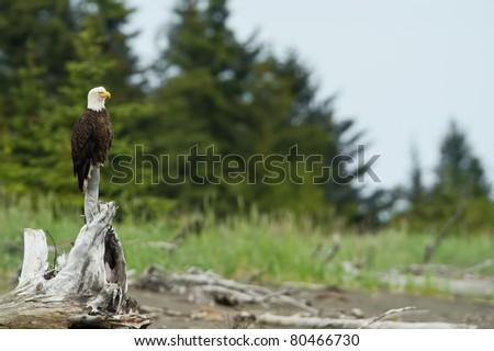 american bald eagle perched on tree stump along beach in lake clark national park, alaska