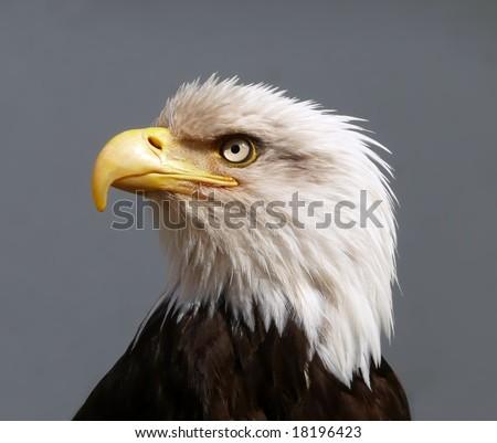 American Bald Eagle portrait in profile