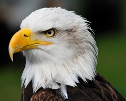 american bald eagle  portrait side on looking to the right