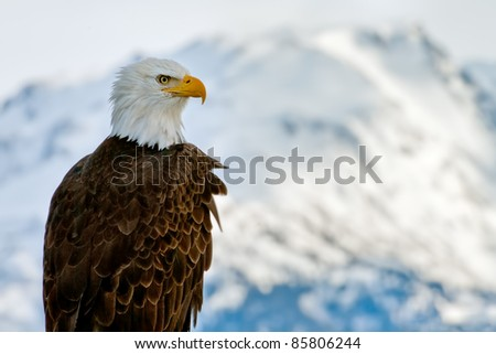 american bald eagle posing against alaska coastal mountains lit by winter sunset