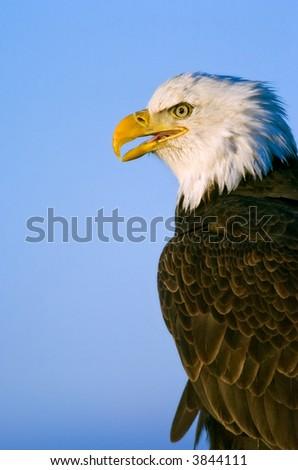 american bald eagle profile against blue background