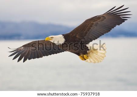 American Bald Eagle soaring over the spit of Homer Alaska
