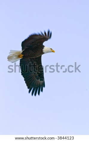 american bald eagle soars against light blue alaskan sky