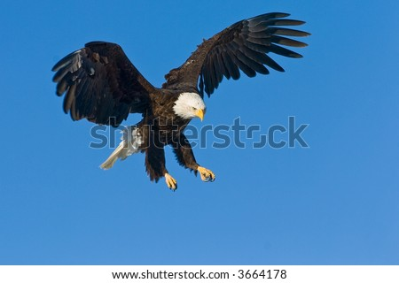 american bald eagle swooping down