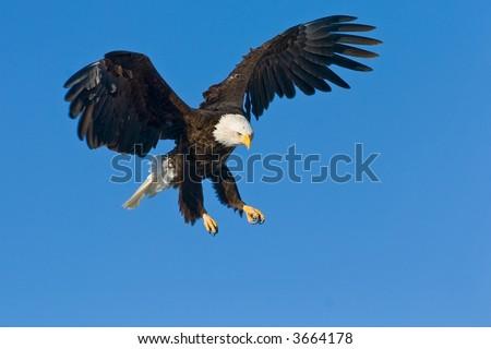 amerikanischer kahler Adler, der unten swooping ist