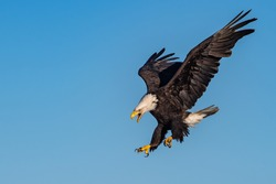 american bald eagle swooping down and screaming, against clear blue Alaska sky