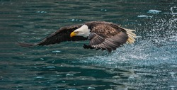 American bald eagle swooping down to grab a fish in Alaskan waters of Kenai region