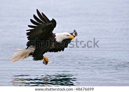 american bald eagle swooping over alaskan waters to grab a fish
