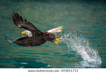 american bald eagle swooping to catch fish in alaskan kenai region waters of cook inlet, on snowy day