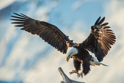 american bald eagle swooping to land on perch, with snow covered Alaskan Kenai mountain in background