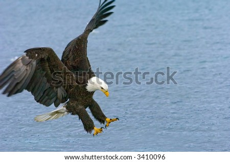american bald eagle swoops down to catch fish in alaskan waters
