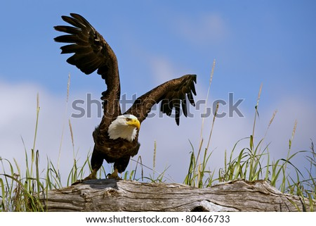 american bald eagle takes flight from perch on log in lake clark national park, alaska, with blue sky background