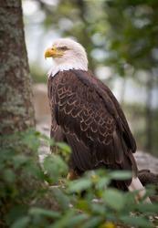 American Bald Eagle wildlife predator bird symbolizing strength and national pride