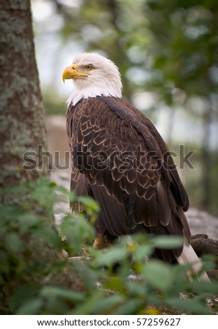American Bald Eagle wildlife predator bird symbolizing strength and national pride