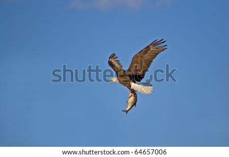 American Bald Eagle with a Fish