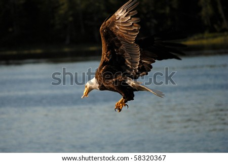 American bald eagle with something in its mouth