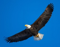 American bald eagle with spread wings flying in a blue sky.