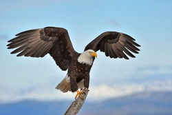American bald eagle with wings spread and perched on branch against background of Alaskan Kenai region shoreline along Cook Inlet
