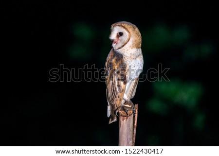 American Barn Owl photographed in Conceicao da Barra, Espirito Santo. Southeast of Brazil. Atlantic Forest Biome. Picture made in 2013.