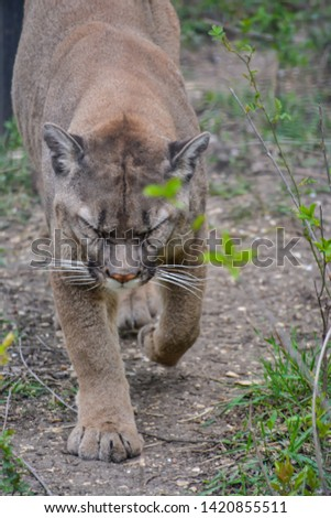 American big cat - Puma, with looks good and fluffy but not in America a more dangerous predator and bloodthirsty #1420855511