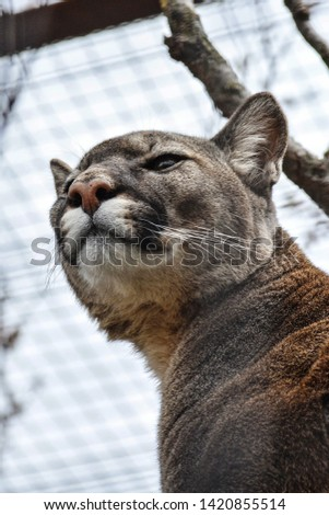 American big cat - Puma, with looks good and fluffy but not in America a more dangerous predator and bloodthirsty #1420855514