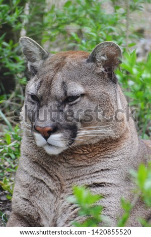 American big cat - Puma, with looks good and fluffy but not in America a more dangerous predator and bloodthirsty #1420855520