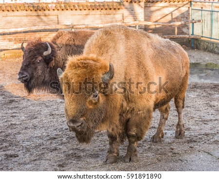 Stock Photo American Bison