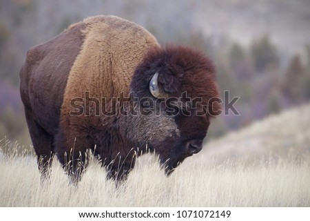 American Bison, a.k.a. Buffalo, on the plains at the foot of the Rocky Mountains.  This is a bison that is wild and free, not one raised in captivity.