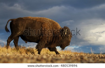 Shutterstock American Bison a.k.a. Buffalo walking across the prairie landscape against a dramatic stormy sky in western Montana