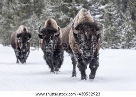 Stock Photo American Bison - Bison bison