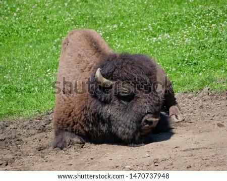 American bison (Bison bison) bull in tall grass short-grass prairie, Tyrol alps, Austria #1470737948