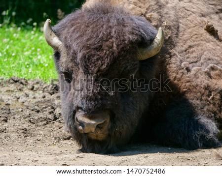 American bison (Bison bison) bull in tall grass short-grass prairie, Tyrol alps, Austria #1470752486