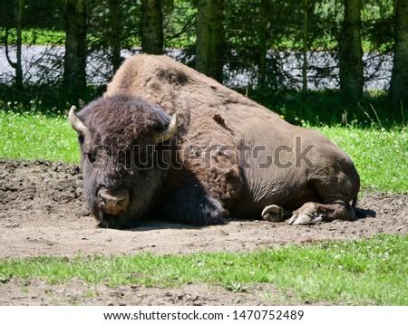 American bison (Bison bison) bull in tall grass short-grass prairie, Tyrol alps, Austria #1470752489