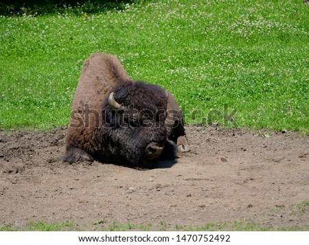 American bison (Bison bison) bull in tall grass short-grass prairie, Tyrol alps, Austria #1470752492
