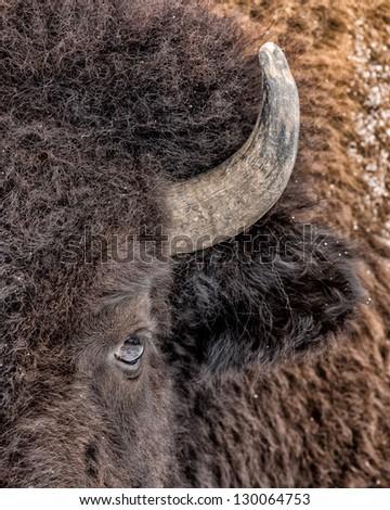 American bison (Bison bison) closeup portrait