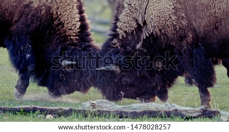 American bison (Bison bison) or american buffalo head-butting during summer time in Yellowstone National Park, Wyoming, USA #1478028257