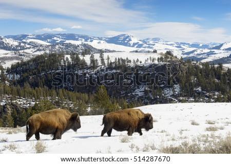 American Bison (Bison bison) walking in landscape, Yellowstone National Park, Wyoming-Montana, USA