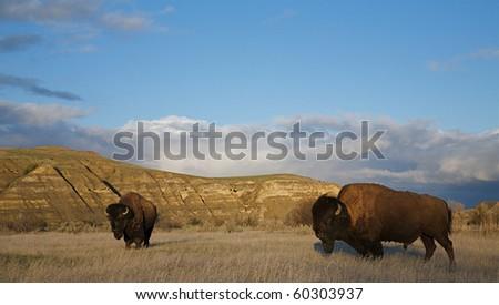 American Bison buffalo in prairie habitat