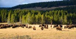 American Bison / Buffalo in Yellowstone National Park USA Wayoming
