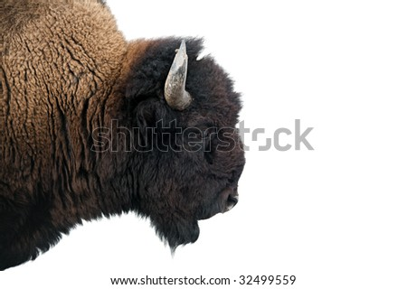 American Bison / buffalo isolated on white. Image shot in Yellowstone National Park against over-exposed snow background.