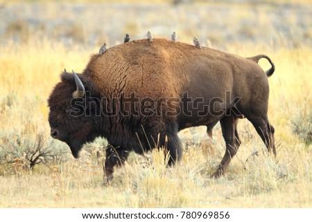 Stock Photo American Bison, Buffalo, Yellowstone National Park