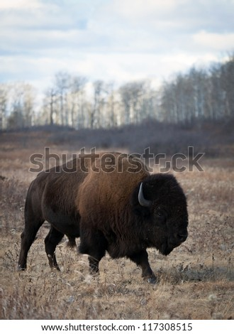 American bison bull roams away from the herd.  Riding Mountain National Park, Manitoba, Canada