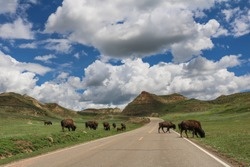 American bison crossing the Scenic Drive in Theodore Roosevelt National Park, North Dakota
