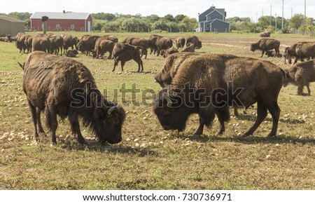 American bison eating potatoes on a farm