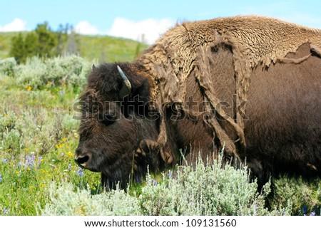 American bison female closeup