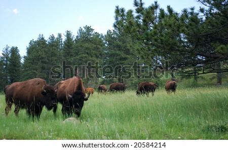 American Bison in South Dakota - stock photo